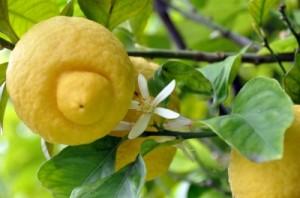 citrón 2
